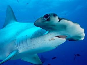 cabeza-tiburon-martillo