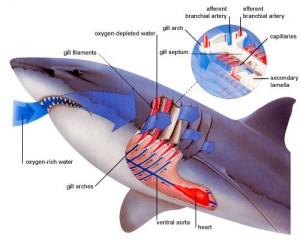 cmo_respira_tiburones_clip_image001
