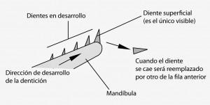 denticion de condrictios