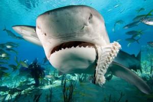 tiburon-tigre1