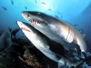 tiburones_20111127_1540247691